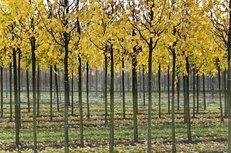 Baumschule, Bäume, Blätter, Reihe