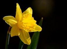 Osterglocke, gelbe Narzisse, Blüte