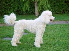 Hund, Pudel, weiß, Friseur, Frisur, akkurat
