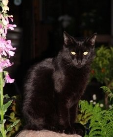 Katze, schwarz, Therapeut