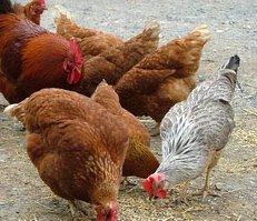 Tierschutz, Hühner, freilaufend, artgerechte Haltung
